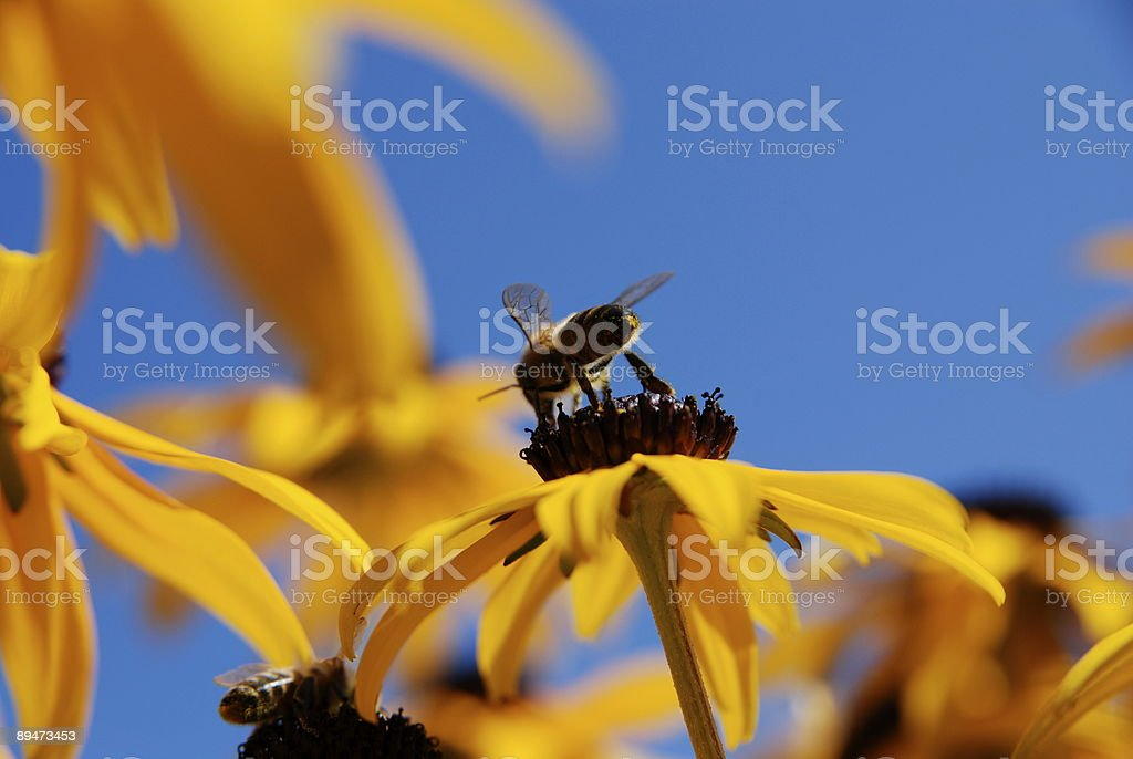 Honey bee on a yellow flower called black-eyed susan stock photo