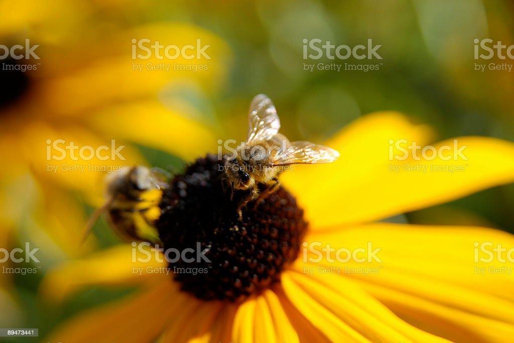 Honey bee on a yellow flower (1 Dollar Image) stock photo