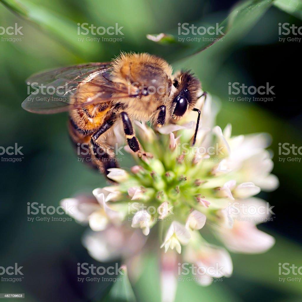 Honey Bee on Clover Blossom stock photo