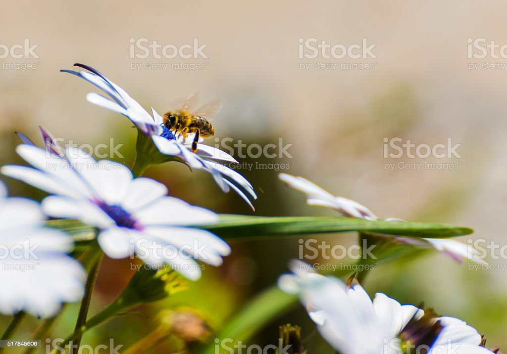 honey bee on daisies stock photo