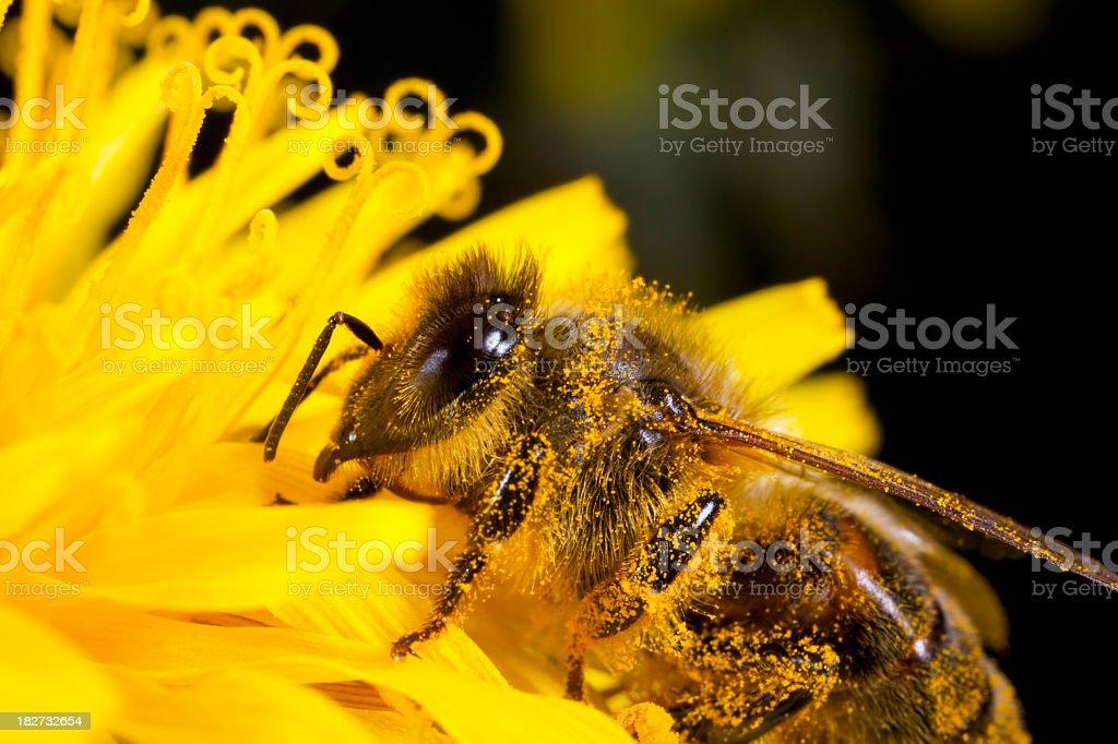 Honey bee on dandelion royalty-free stock photo