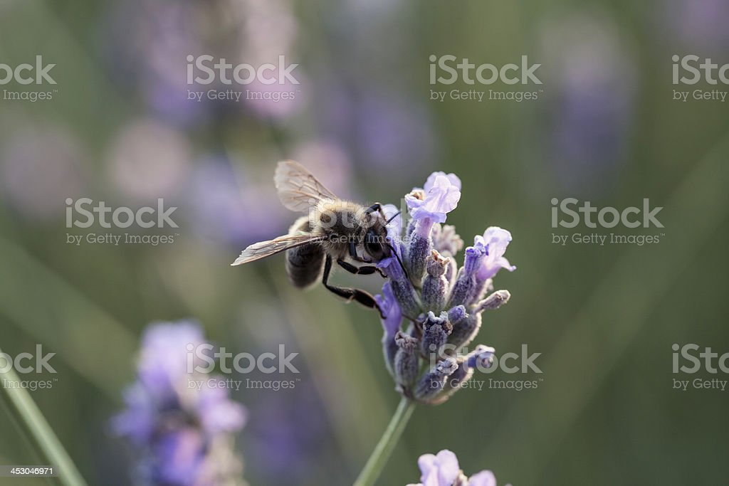 Honey bee on lavender royalty-free stock photo