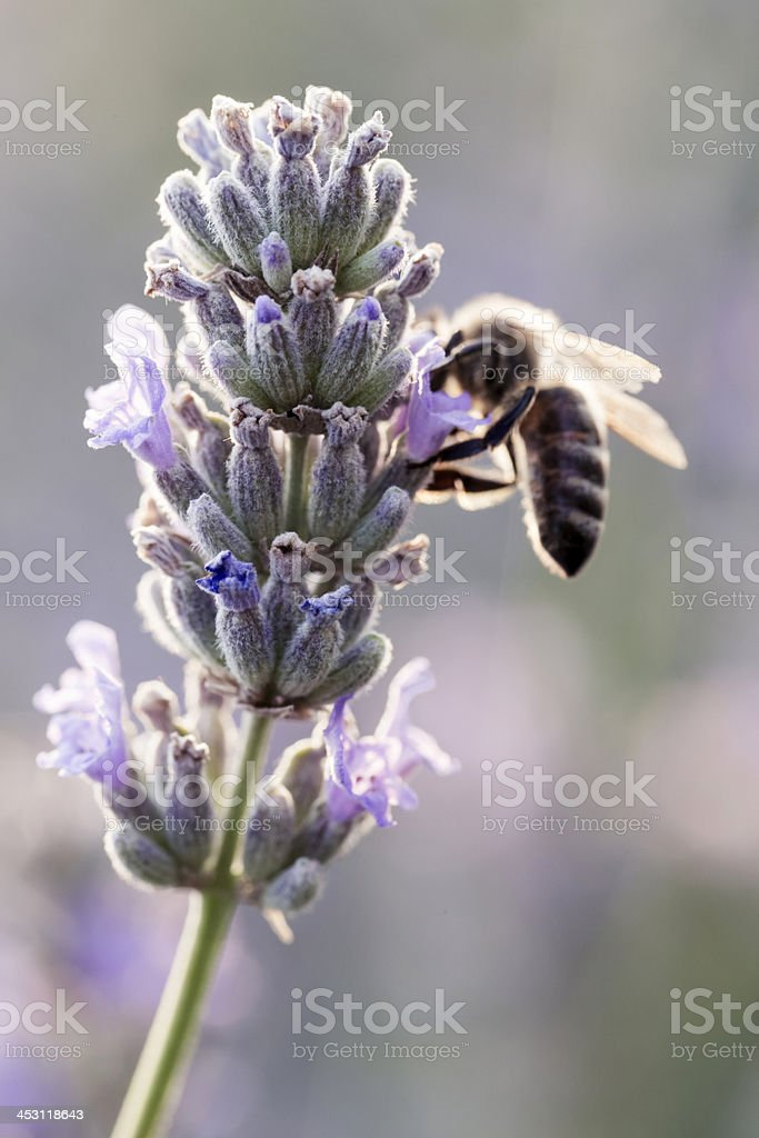 Honey bee on lavender royalty-free stock photo
