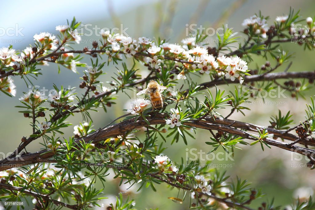 Honey Bee on Manuka (Tea Tree) stock photo