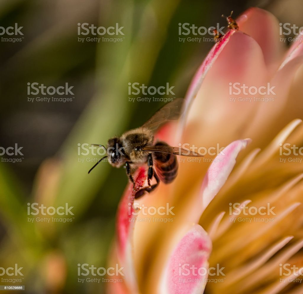 Honey Bee on Protea repens stock photo