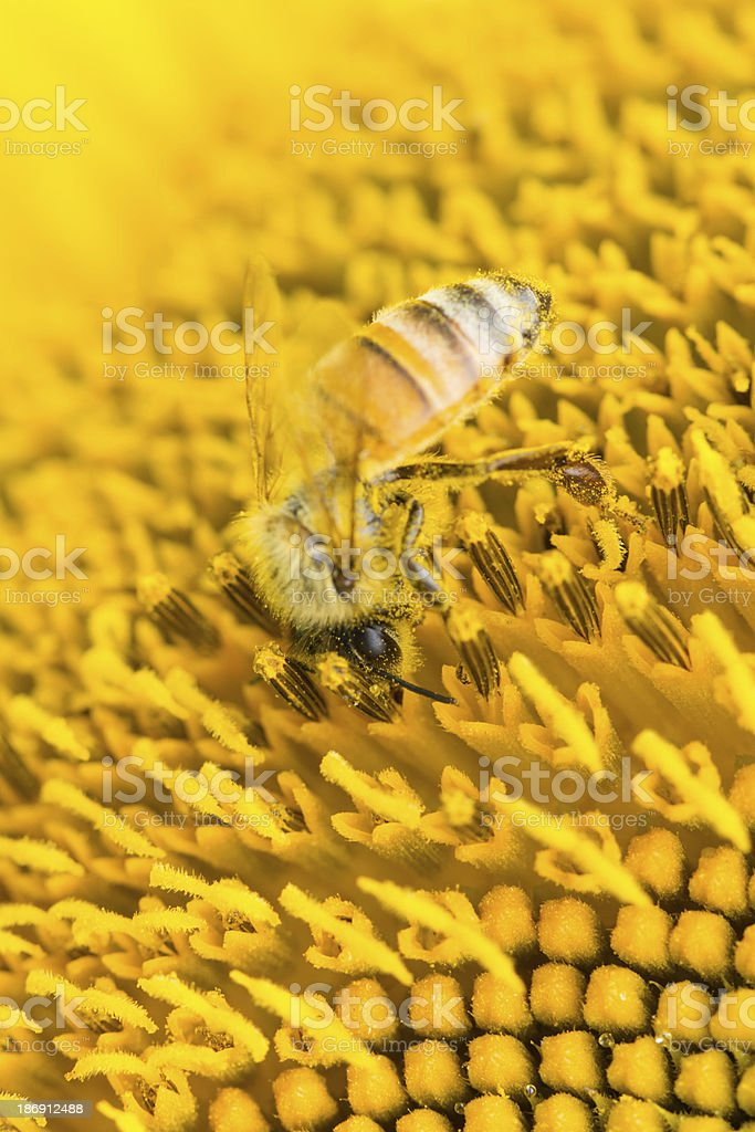Honey bee on sunflower, foraging for pollen royalty-free stock photo