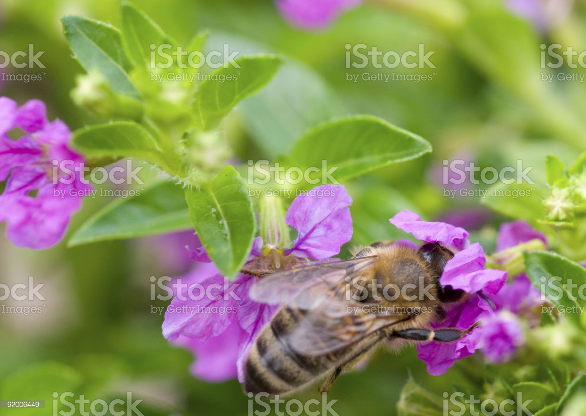Honey bee on thyme flower royalty-free stock photo