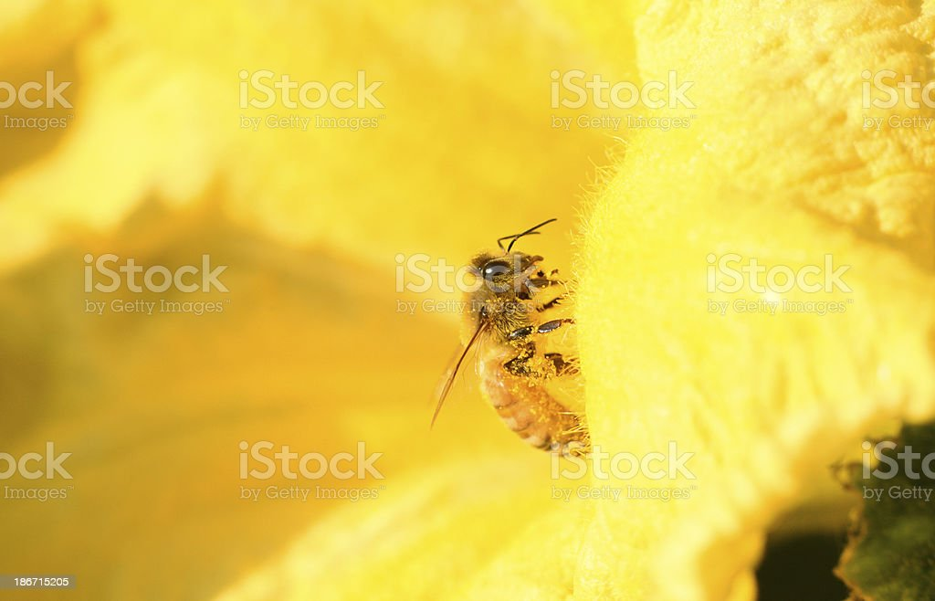 Honey bee on yellow flower royalty-free stock photo