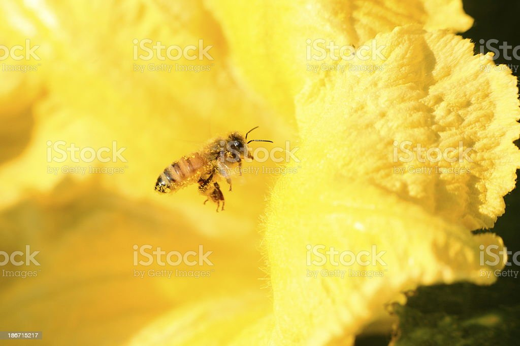 Honey bee on yellow flower royalty-free stock photo