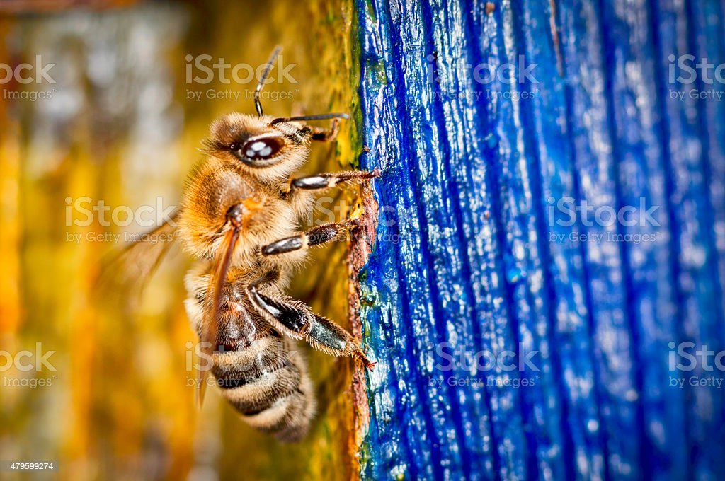 Honey Bee (Apis mellifera) stock photo