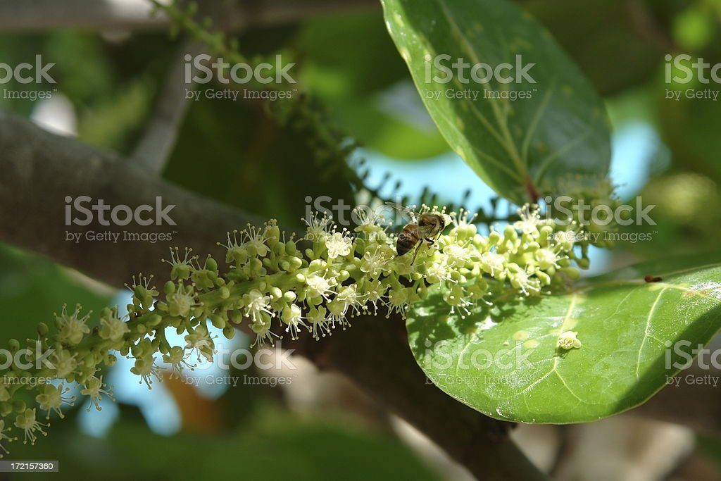 Honey Bee Pollenating Sea Grape Flower stock photo