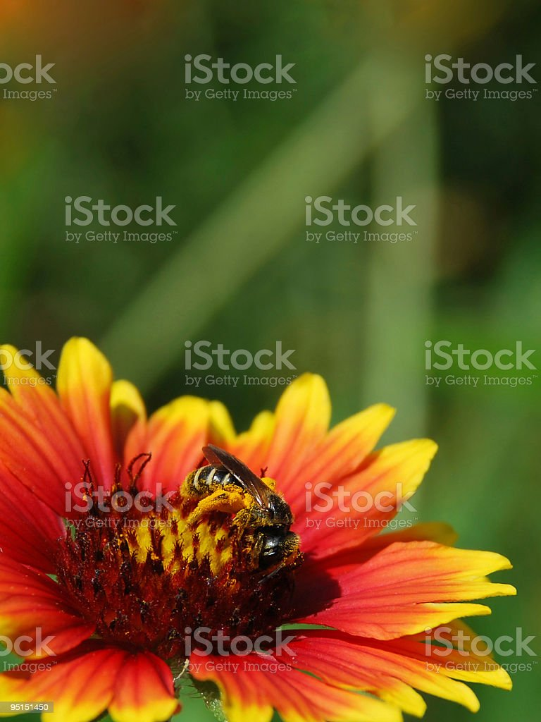 Honey Bee Pollinating a Vivid Gaillardia Goblin (Blanket Flower) stock photo