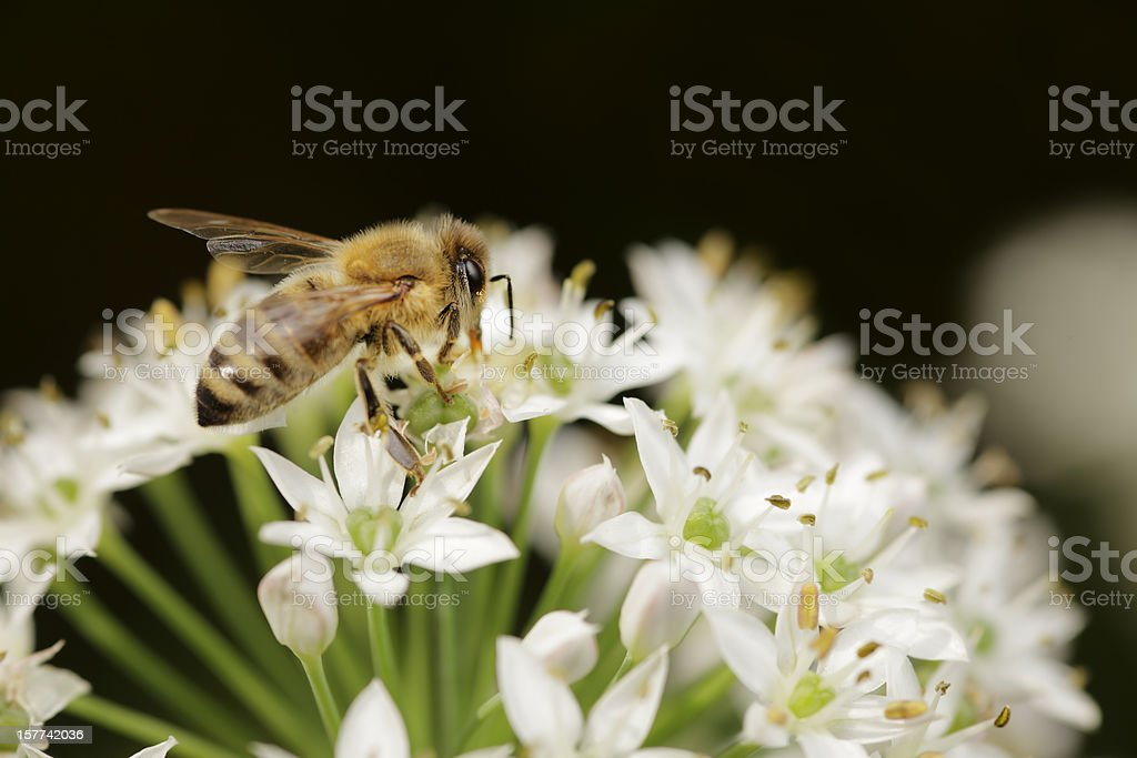 Honey bee pollinating a white flower stock photo