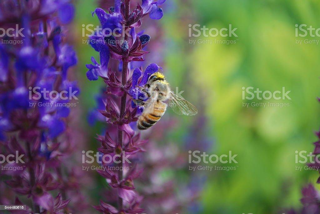 Honey Bee pollinating Delphinium stock photo
