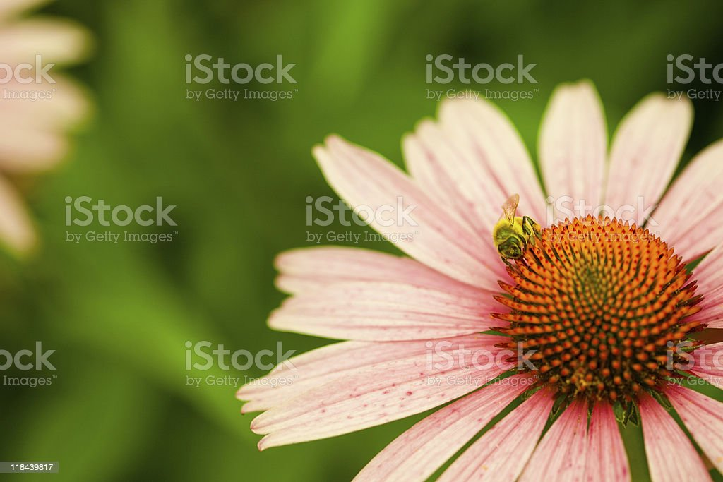 Honey Bee pollinating echinacea flower in meadow royalty-free stock photo