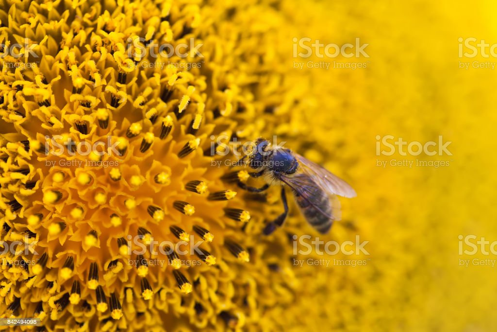 Honey bee pollinating flower. Macro view sunflower seeds and insect searching nectar. Shallow depth of field, selective focus photo stock photo