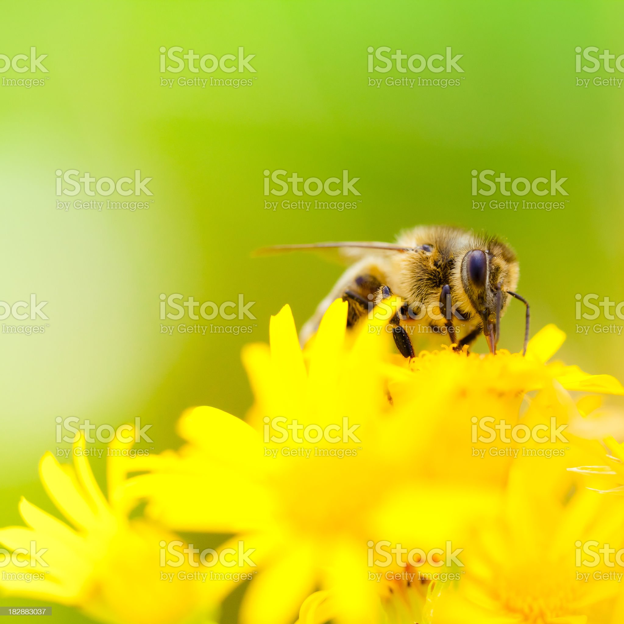 Honey Bee pollinating plant in meadow royalty-free stock photo