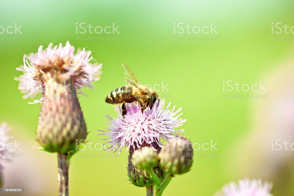Honey bee pollinating thistle plant in meadow royalty-free stock photo