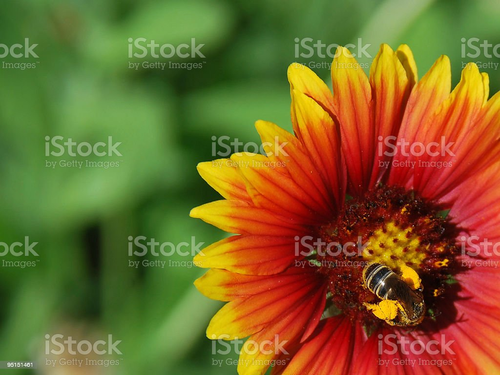 Honey Bee Pollinating Vivid Gaillardia Goblin (Blanket Flower) stock photo