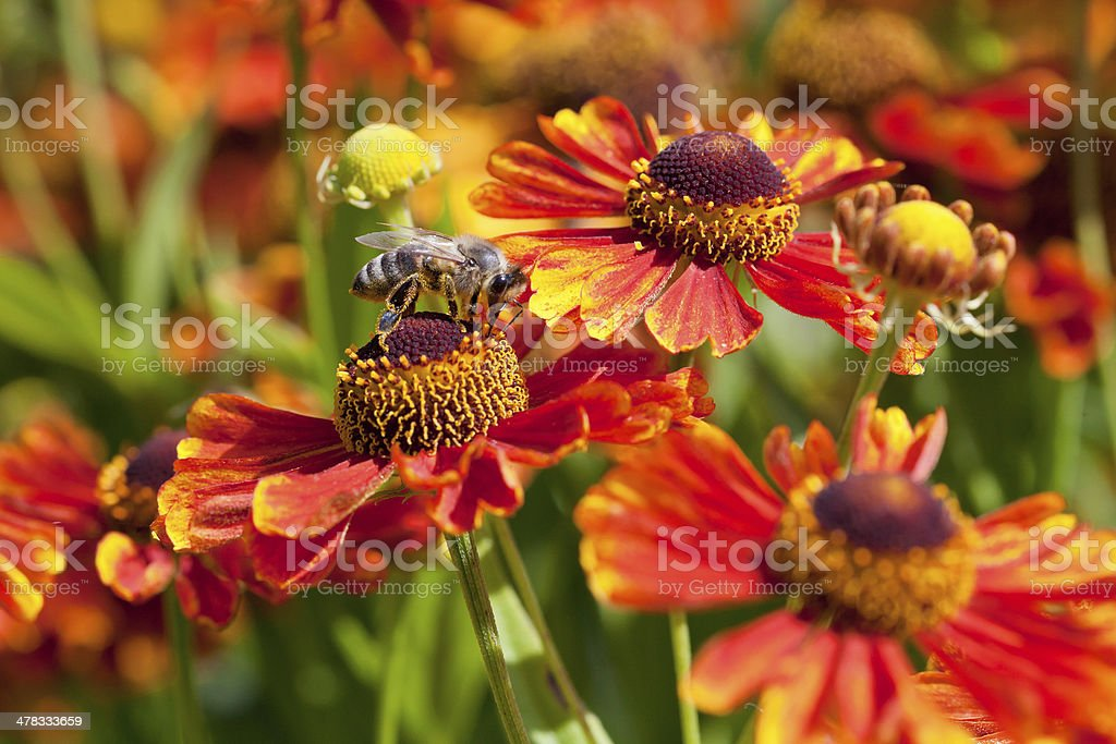 honey bee sips nectar from gaillardia flower stock photo