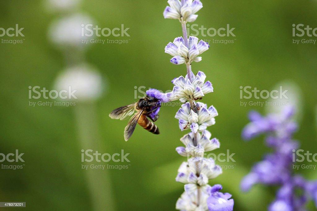 Honey bee sucking nectar stock photo