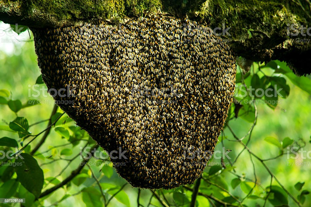 Honey Bee Swarm In The Tree stock photo