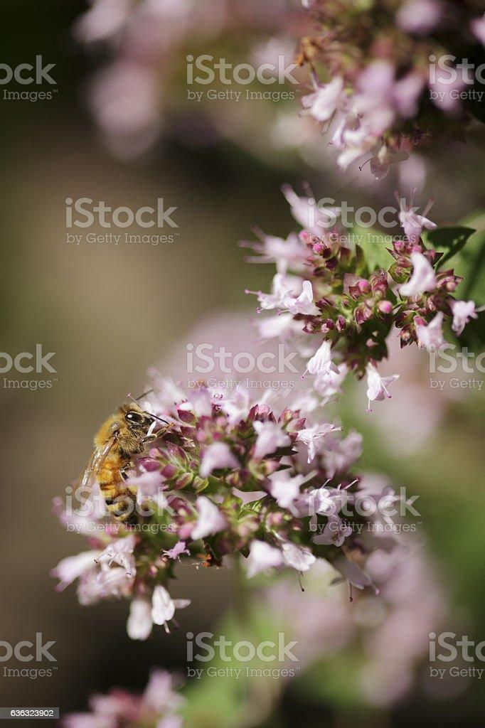 Honey bee working on Marjoram flower stock photo