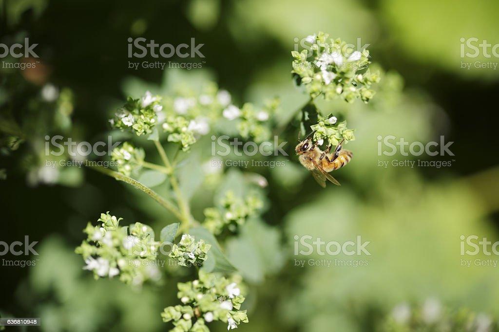 Honey bee working on Oregano flower stock photo