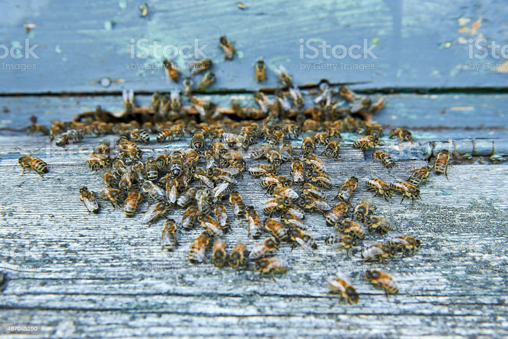 Honey bees at entrance of beehive stock photo