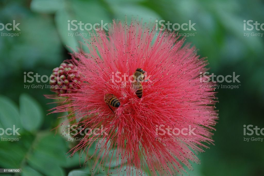 Honey Bees Collecting Nectar on Flower stock photo