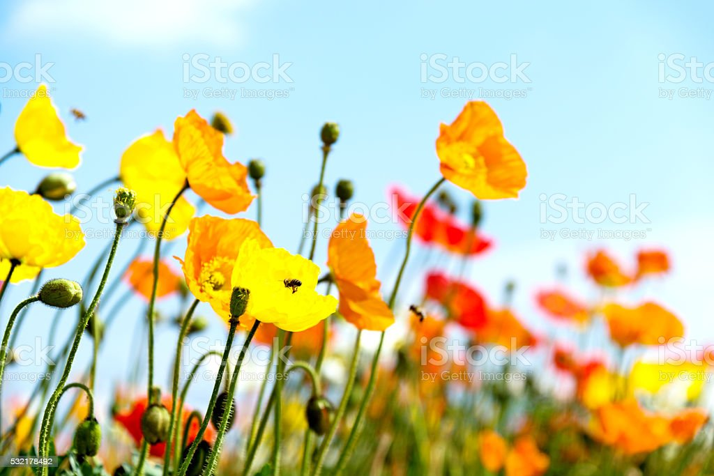 Honey bees collecting pollen on colorful corn poppy flowers stock photo