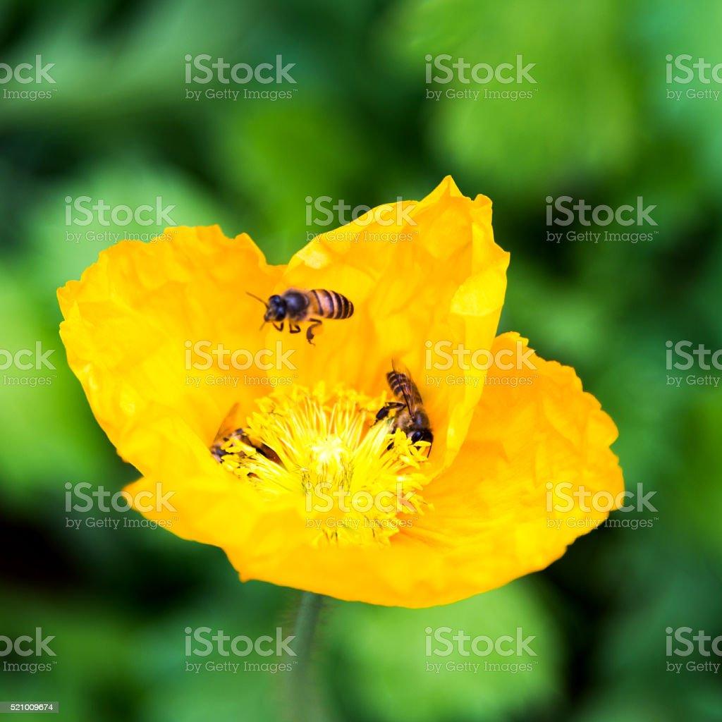 Honey bees collecting pollen on corn poppy flower stock photo