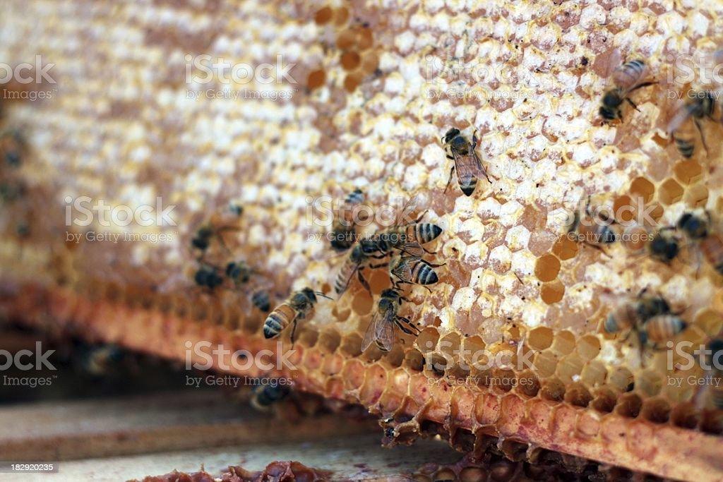 Honey Bees Hard At Work stock photo