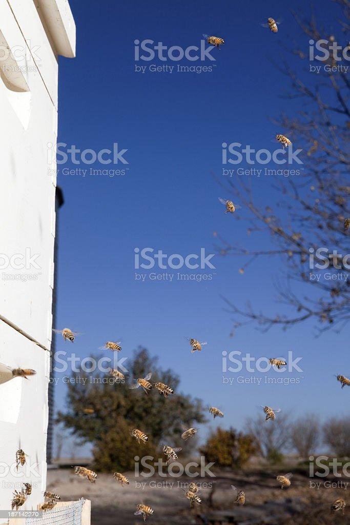 Honey Bees in Flight royalty-free stock photo
