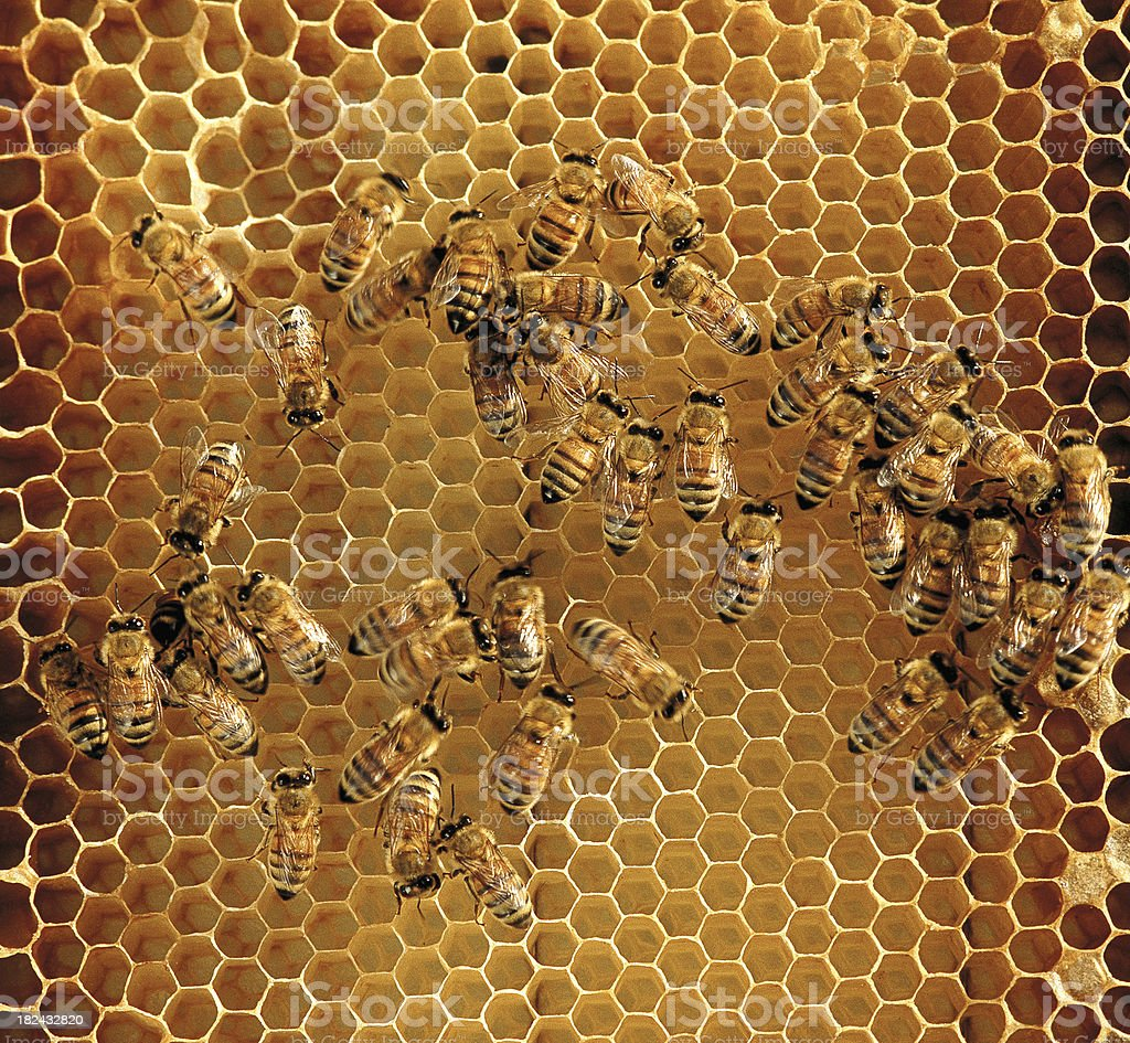 Honey Bees in honeycomb royalty-free stock photo