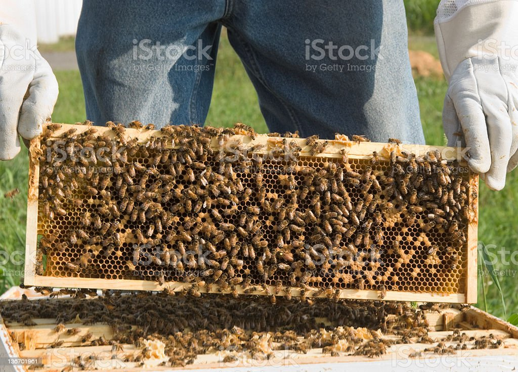 Honey Bees on Beehive Comb Lifted From Hive, Close Up royalty-free stock photo