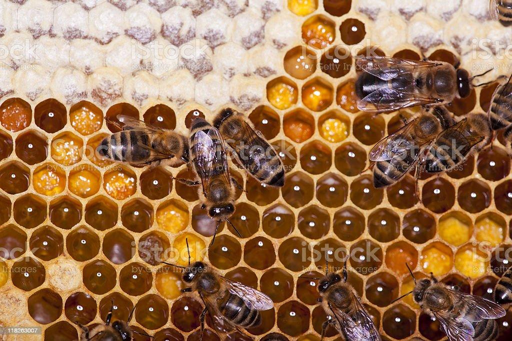 Honey bees on honeycomb royalty-free stock photo