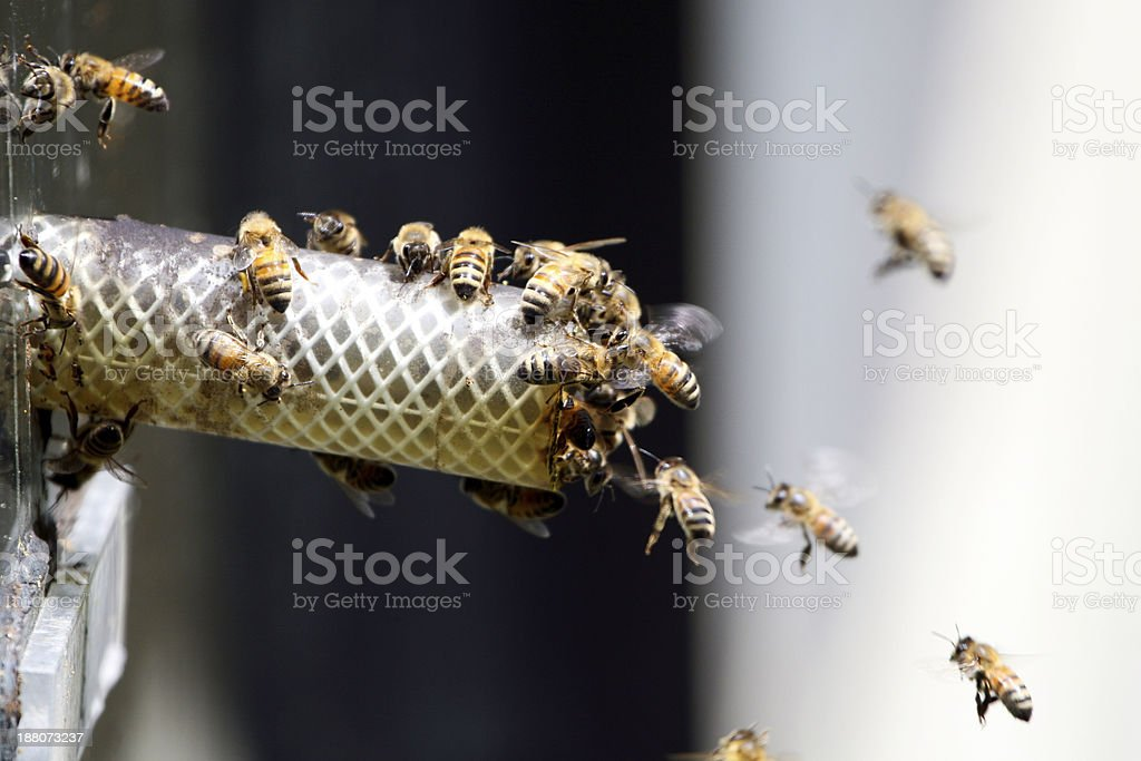 Honey bees royalty-free stock photo