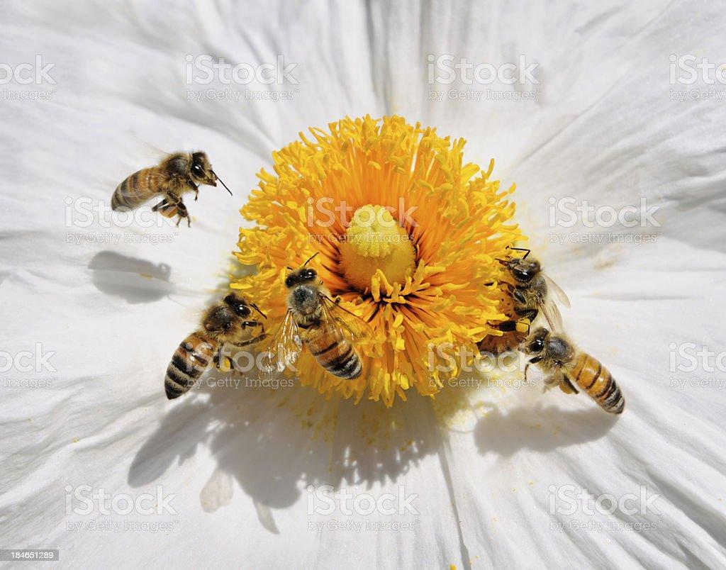 Honey Bees pollinating a Wild Flower (Macro) royalty-free stock photo