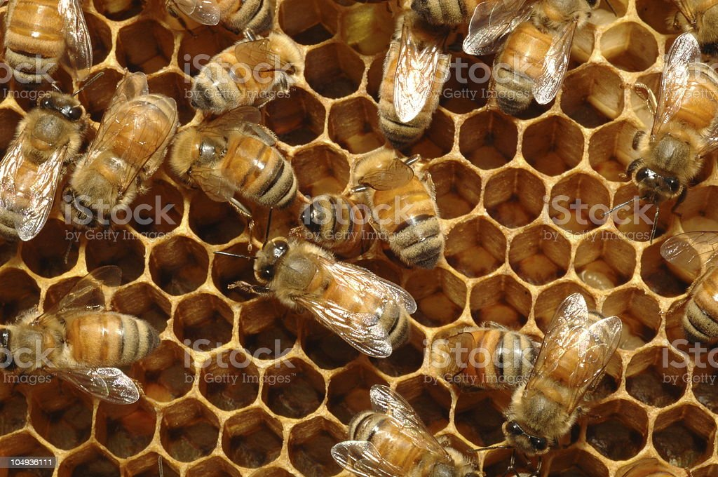 Honey bees smothering a honey comb stock photo