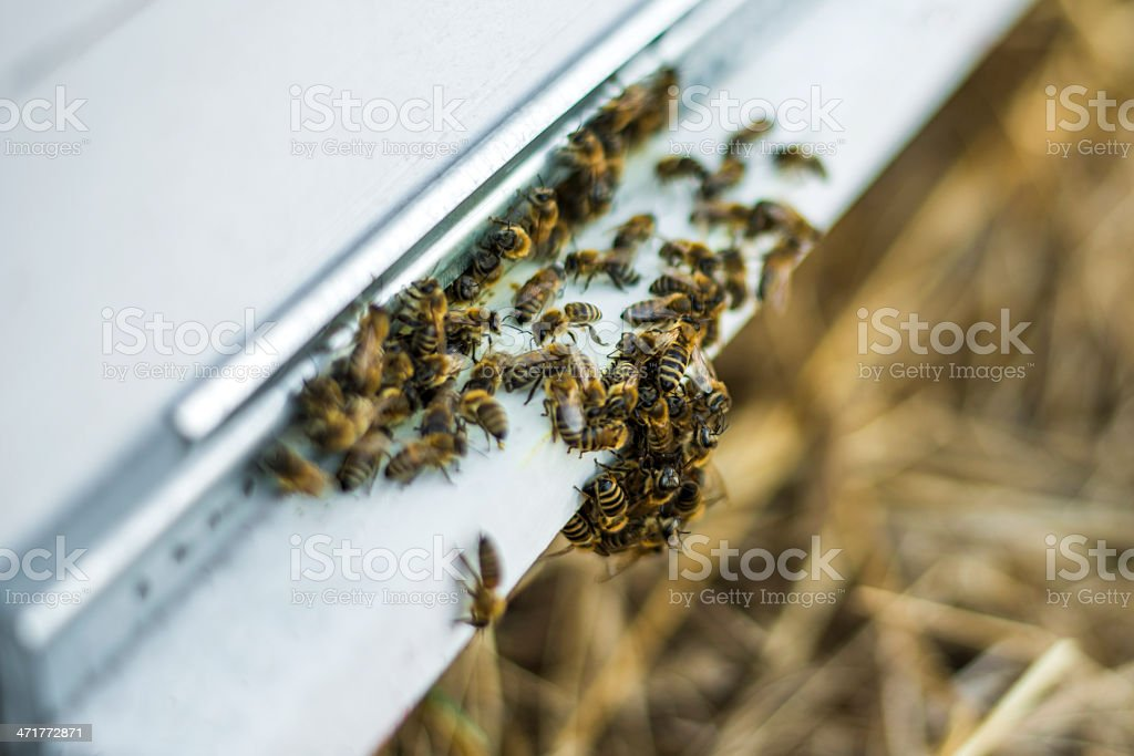 Honey Bees Working royalty-free stock photo