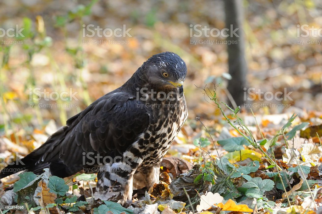 Honey Buzzard among autumn yellow leaves stock photo
