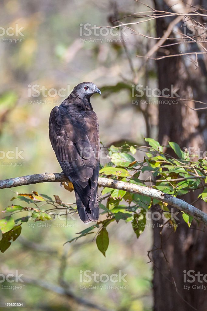 Honey buzzard perching on a twig in forest stock photo