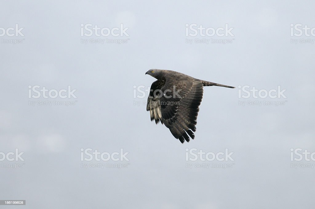 Honey buzzard, Pernis apivorus stock photo