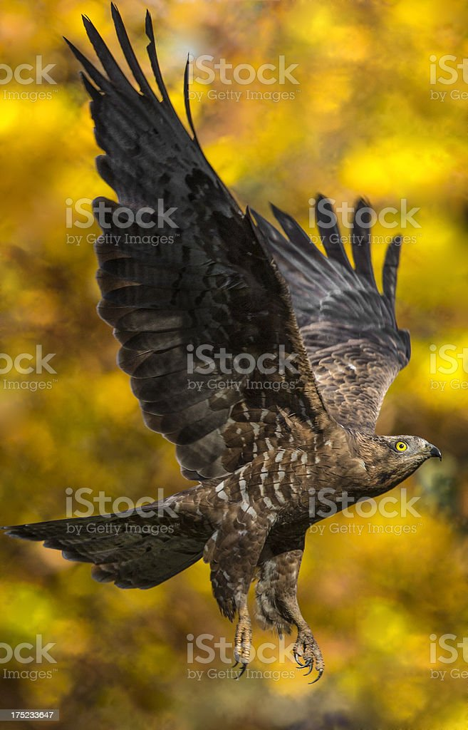 Honey buzzard stock photo