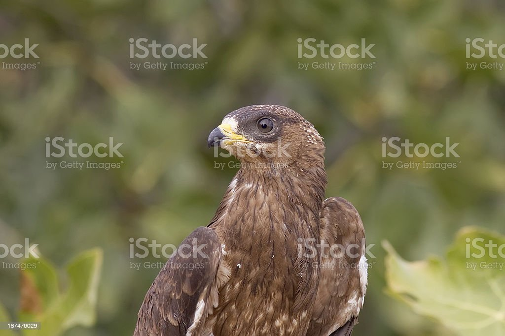 Honey Buzzard Portrait stock photo