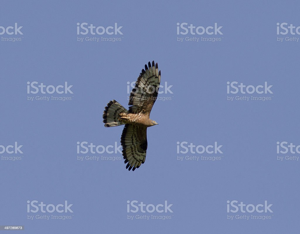 Honey buzzard soaring above the meadow. stock photo