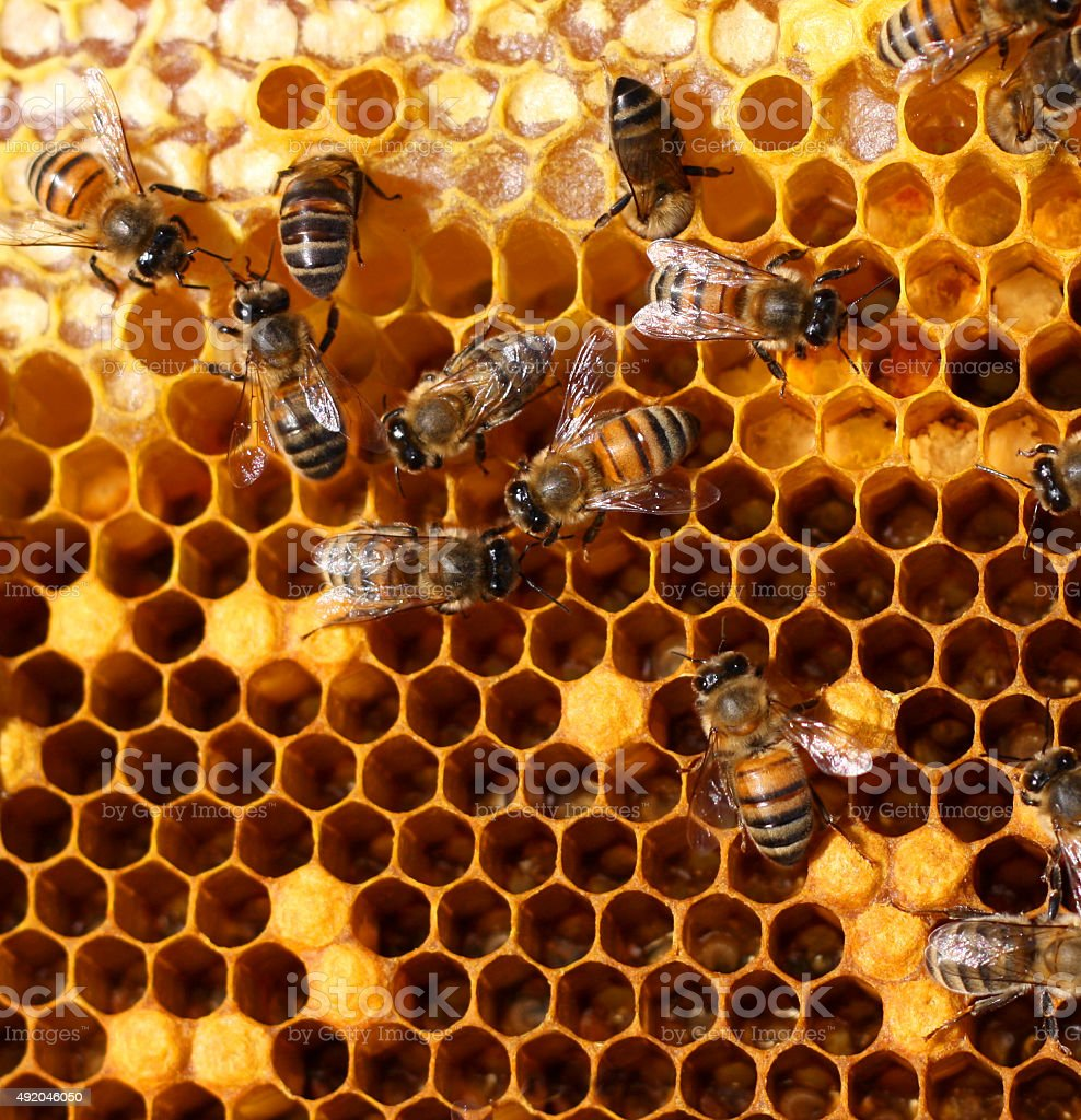 honey comb and a bee stock photo