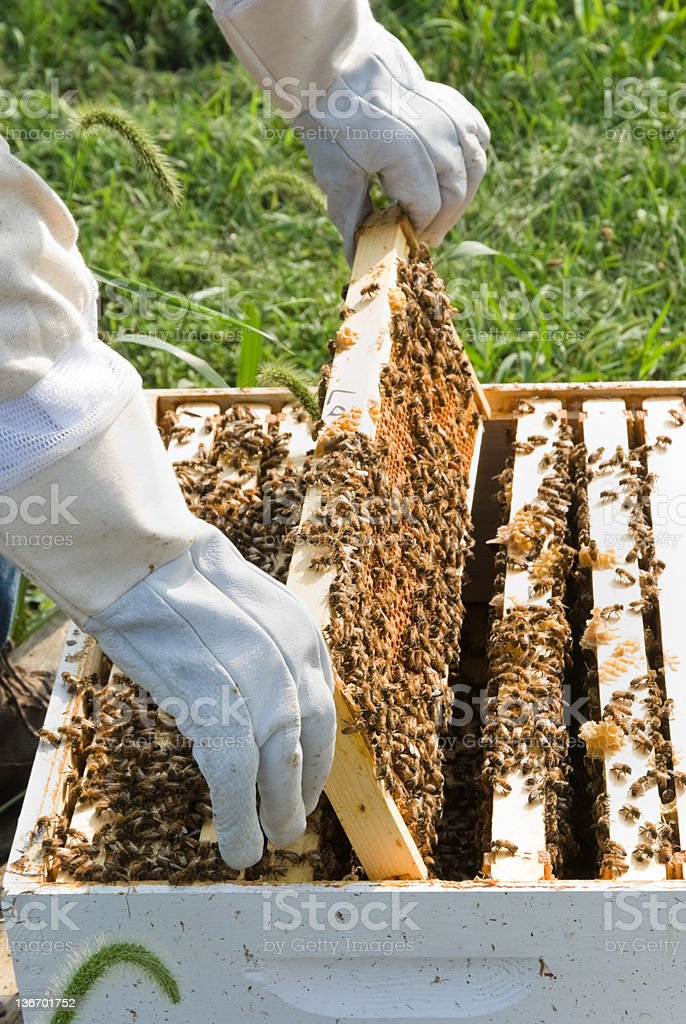 Honey Comb Being Lifted from Beehive Close Up royalty-free stock photo