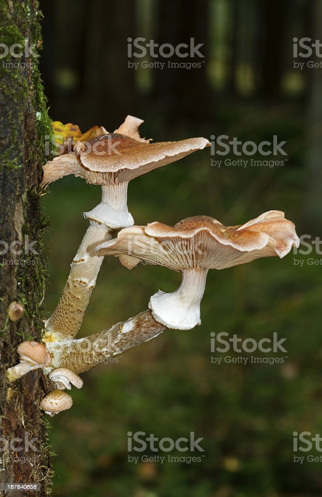 Honey fungus growing on an Oak stock photo